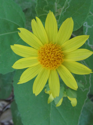 Canyon Sunflower - Flower Essence