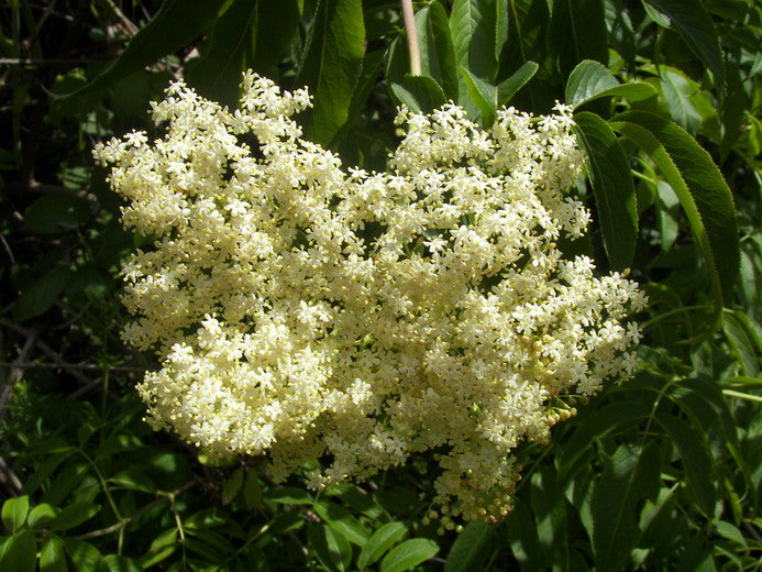 Elderberry Flower Essence