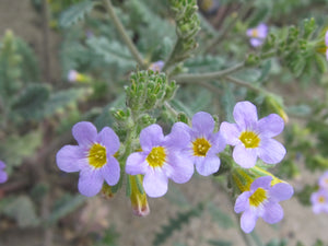 Two Color Phacelia