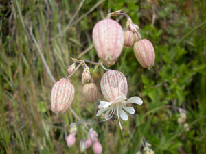 Bladder Campion Flower Essence