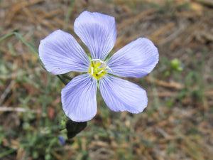 Blue Flax Flower Essence