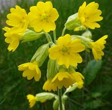 Cowslip Flower Essence