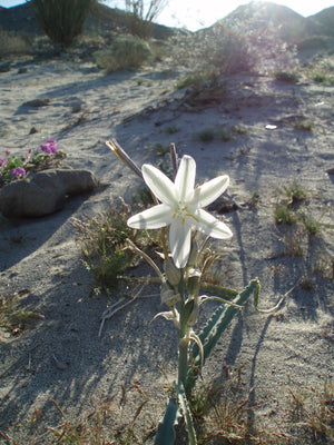 Desert Lily Flower Essence