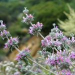 Purple Sage Flower Essence