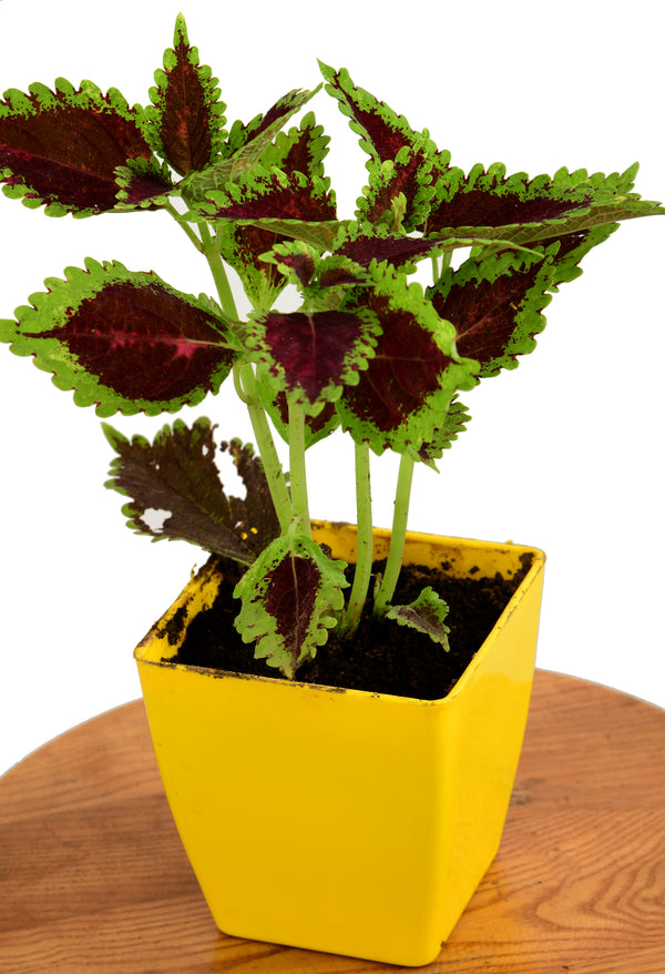 Coleus with Five Inches Square Pot