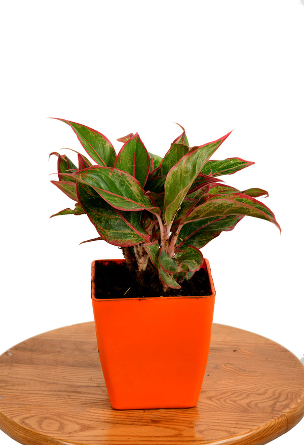 Aglaonema Lipstick with Square pot (5 inches)