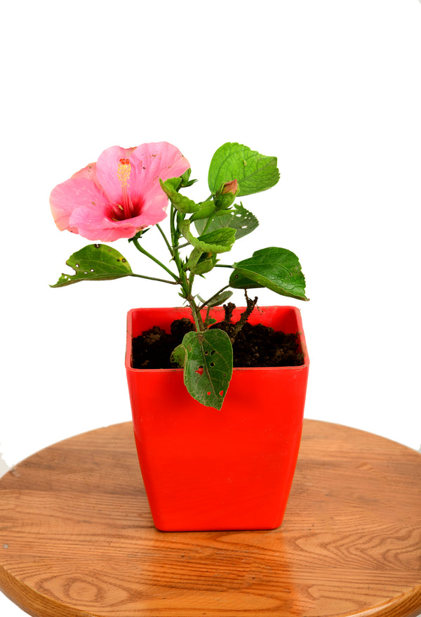 Hibiscus Rosa- A flowering Plant with 5 inches Square Pot