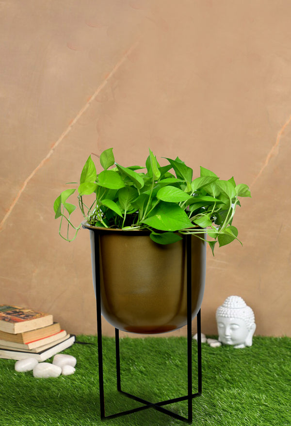 Big Size Money plant with Pot