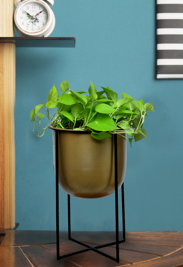 Money Plant with Big size stand