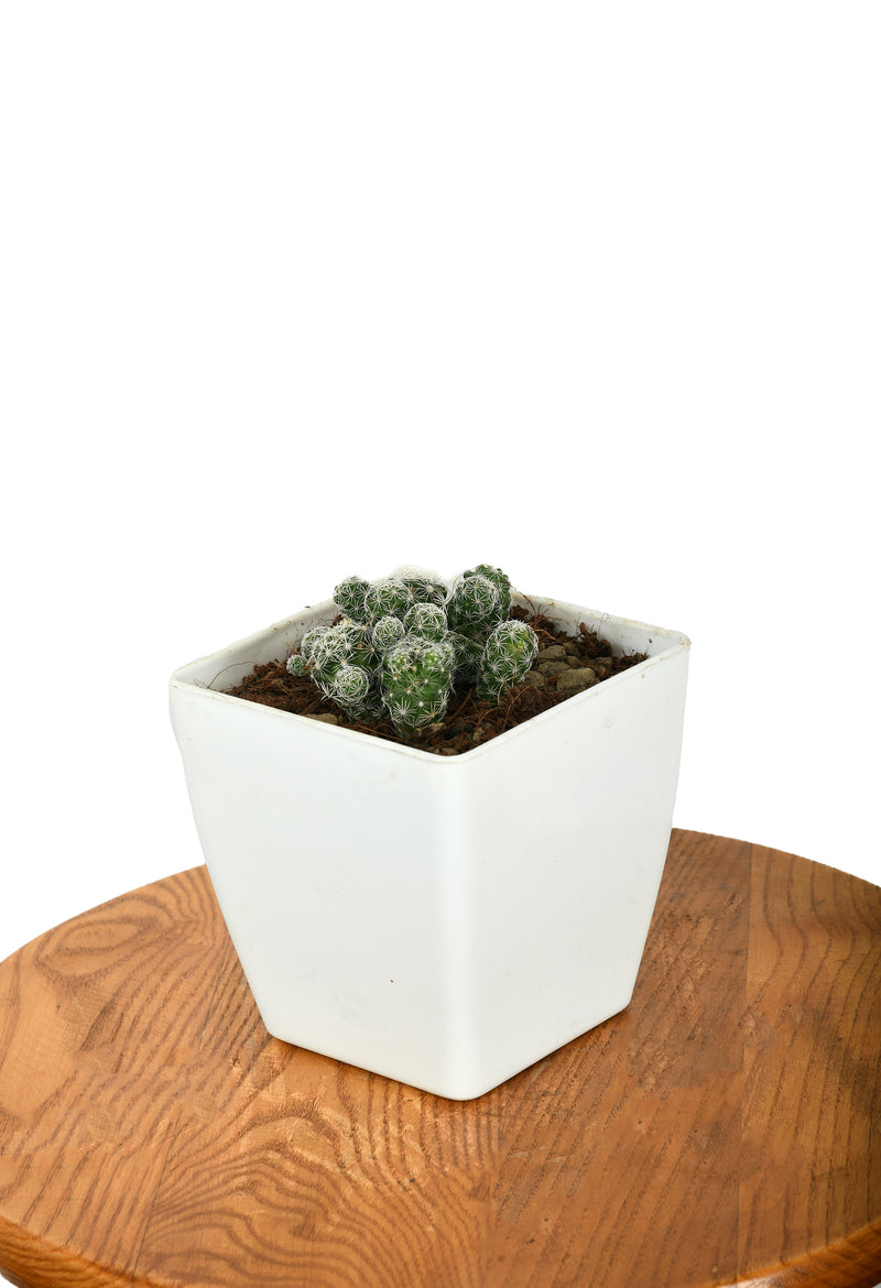 Mammillaria Plant with five Inches Square Pot