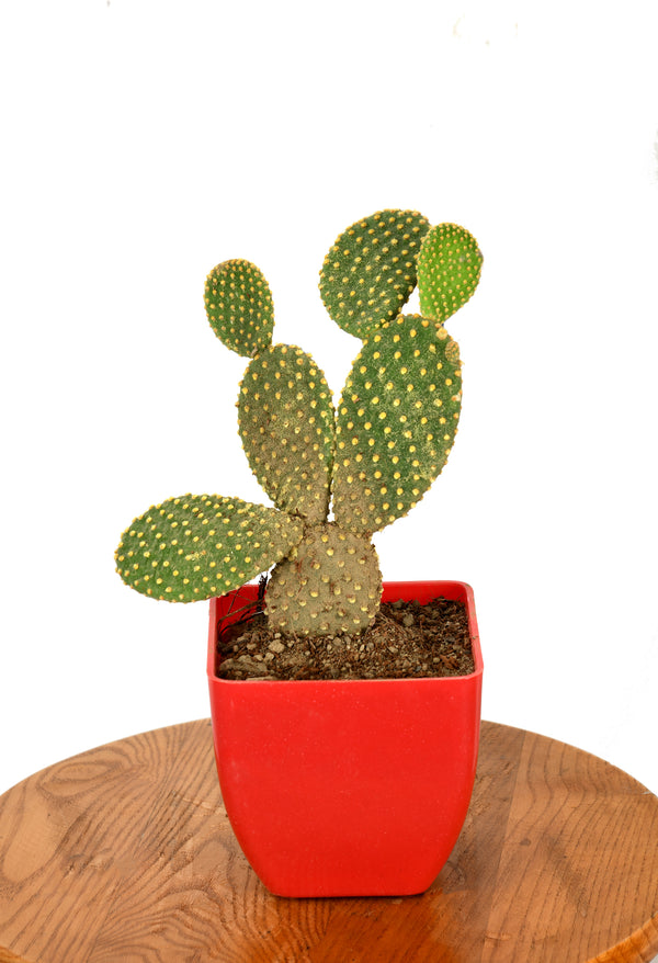 Bunny Ears Cactus with five inches Square Pot