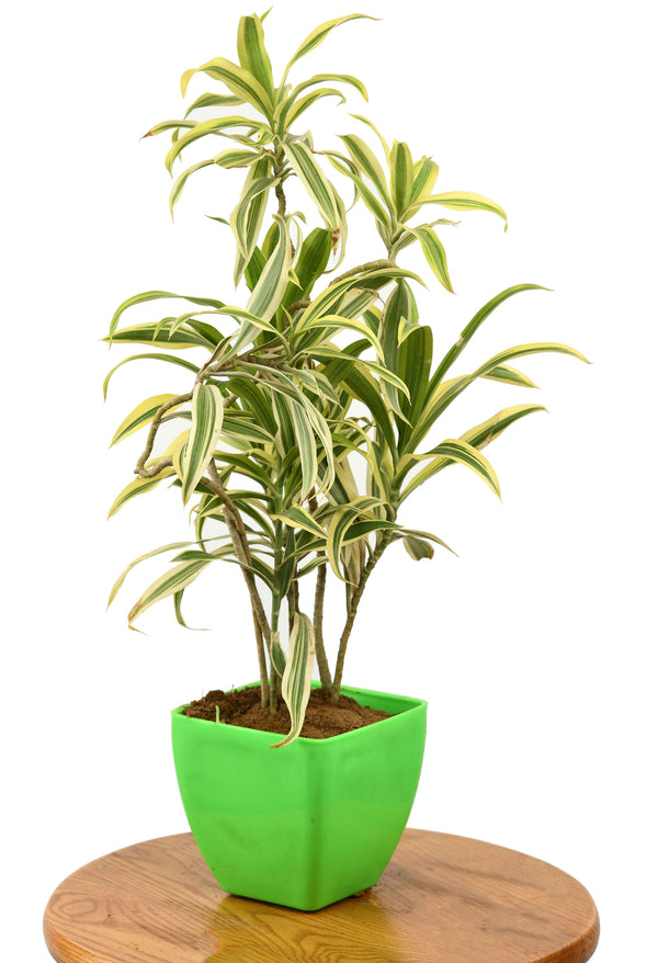 Song of india plant leafafa.com