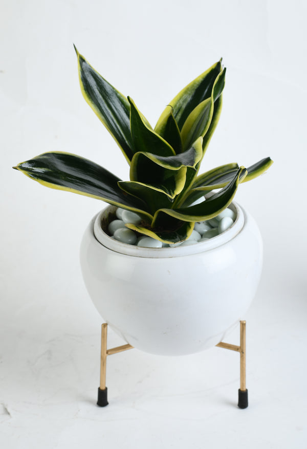 Snake Plant (Sansevieria) with Imported Metal Pot and Stand