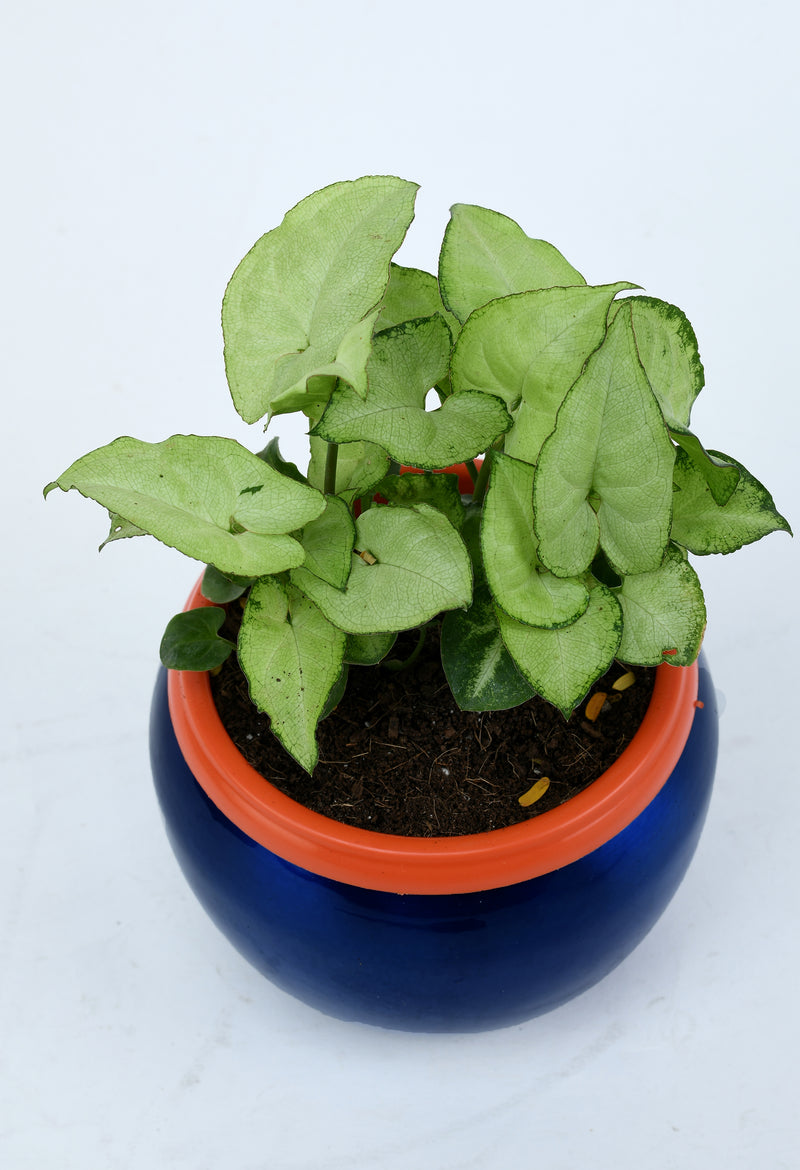 Syngonium with Elegant Blue Metal Pot