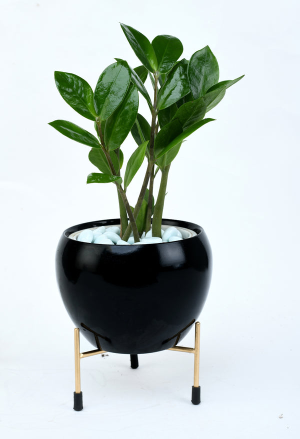 The ZZ Plant (Zamioculcas Zamiifolia) with Metal Pot and Stand