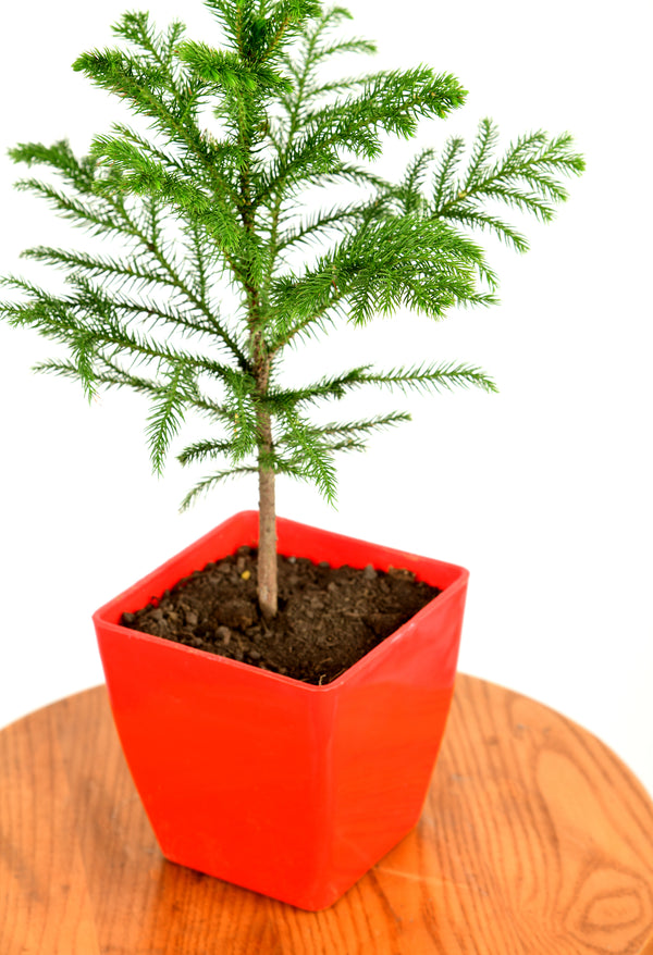 Christmas Tree with Square Pot