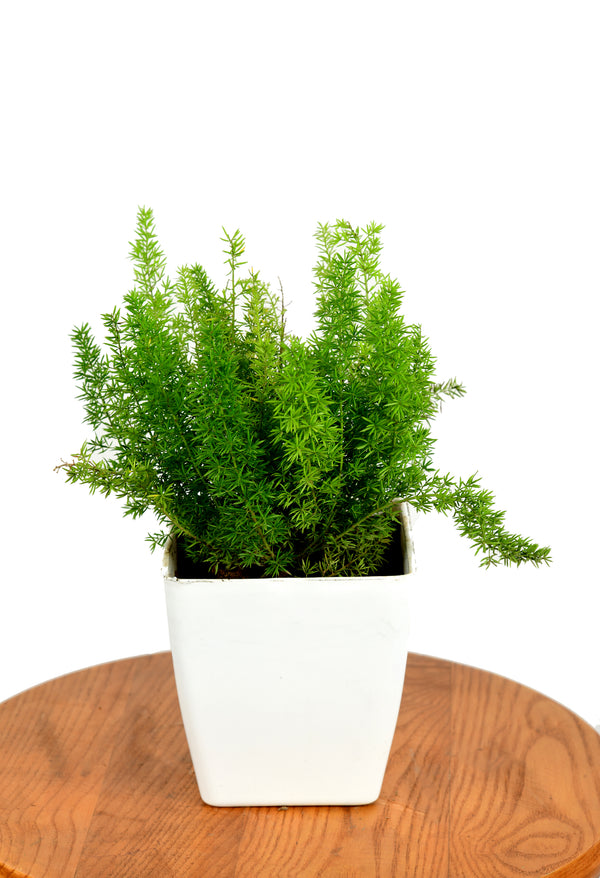 Asparagus Meyeri with Five inches Square Pot