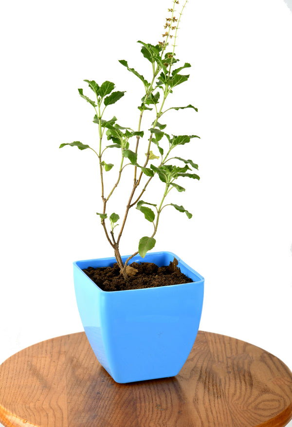 Holi Basil (Tulsi) Plant with Imported Square Pot