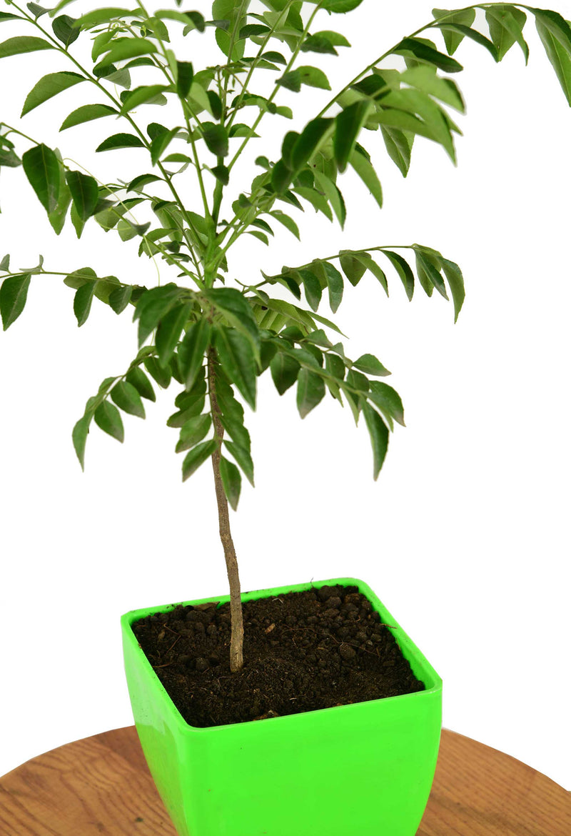 Curry Leaf (Kadi Patta) Plant with Imported Square Pot