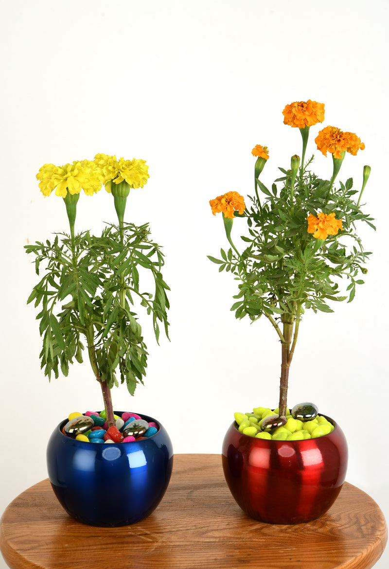 Marigold Genda phool, flowers metal pot