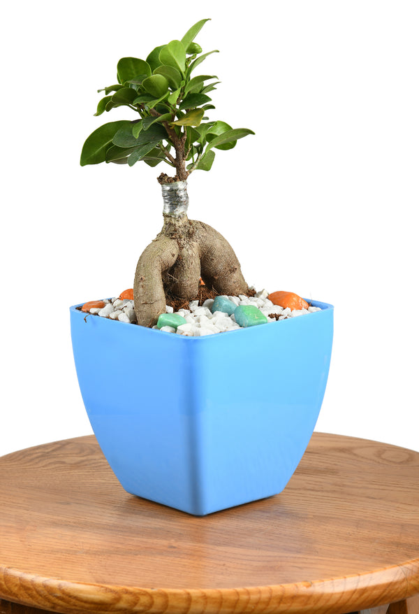 Ficus Bonsai with Square Pot