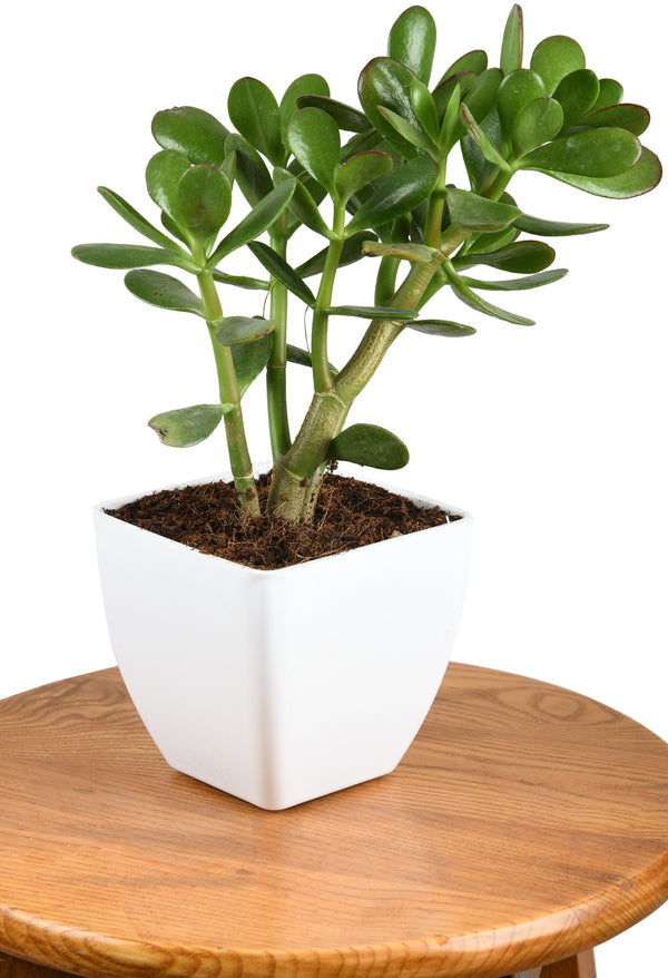 Crassula Plant with Square Pot