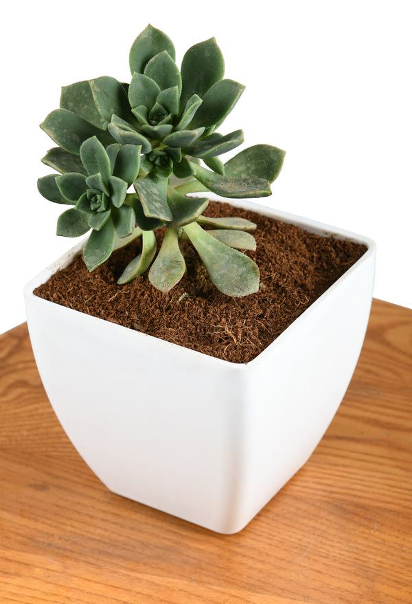 Aeonium - Succulent Plant with Square Pot