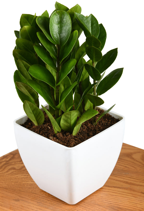 The ZZ Plant (Zamioculcas Zamiifolia) with Square Pot