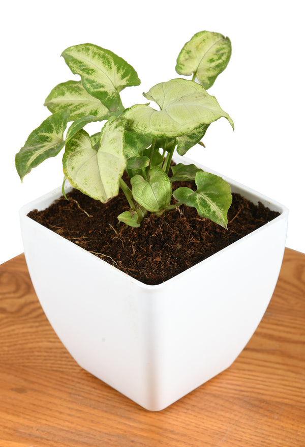 Syngonium Green With Square Pot