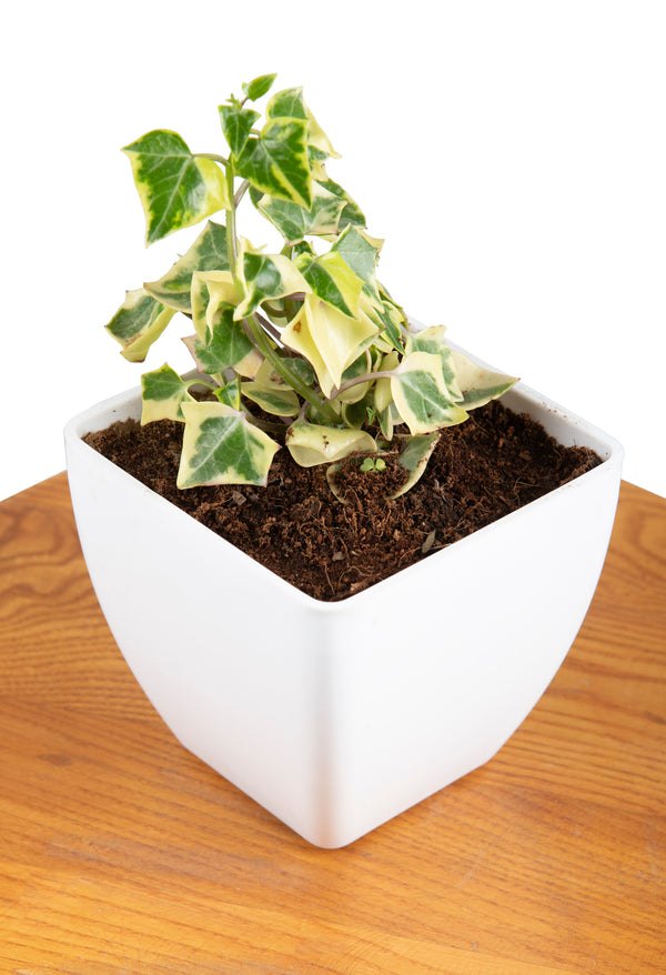 English Ivy with Square Pot