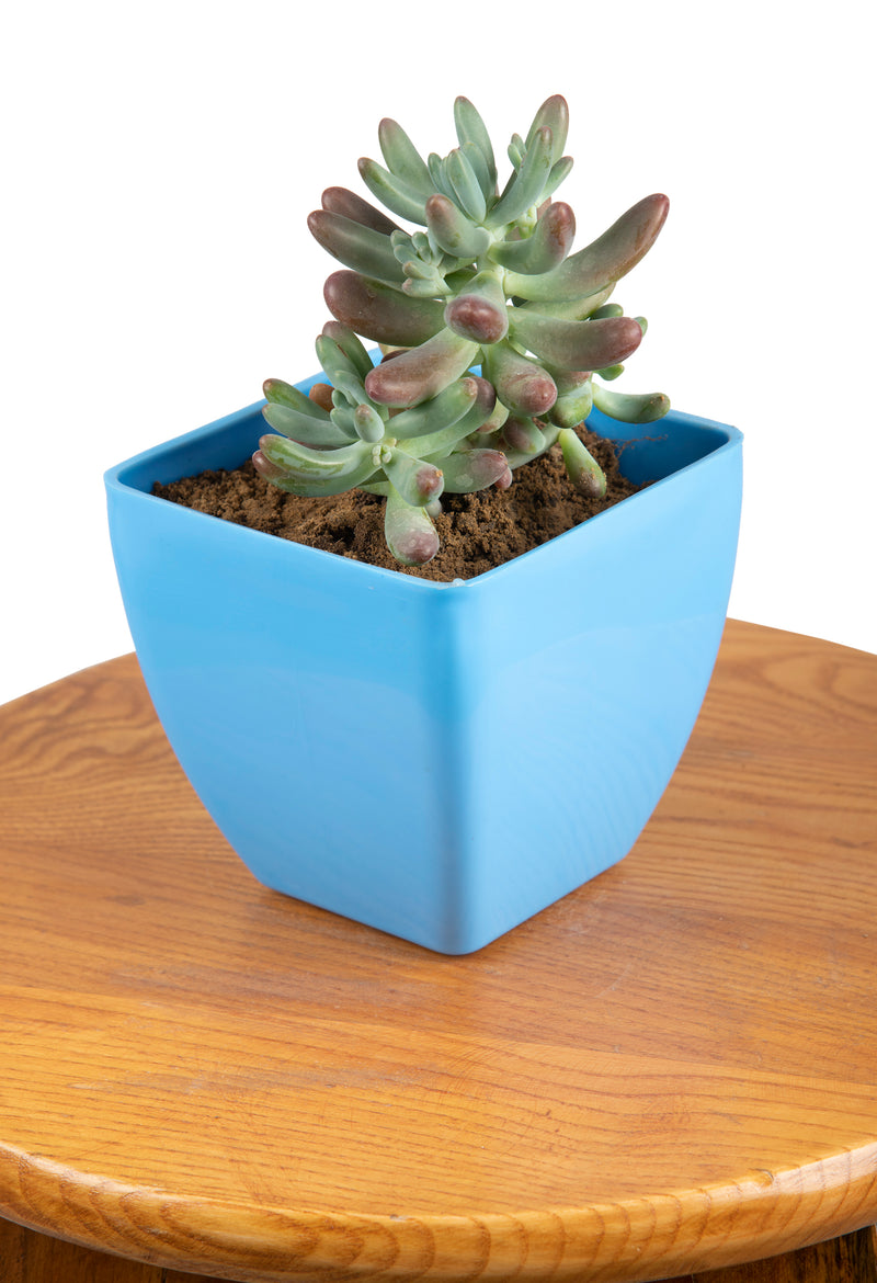 Jelly Bean (Sedum Robrotinctum) with Square Pot