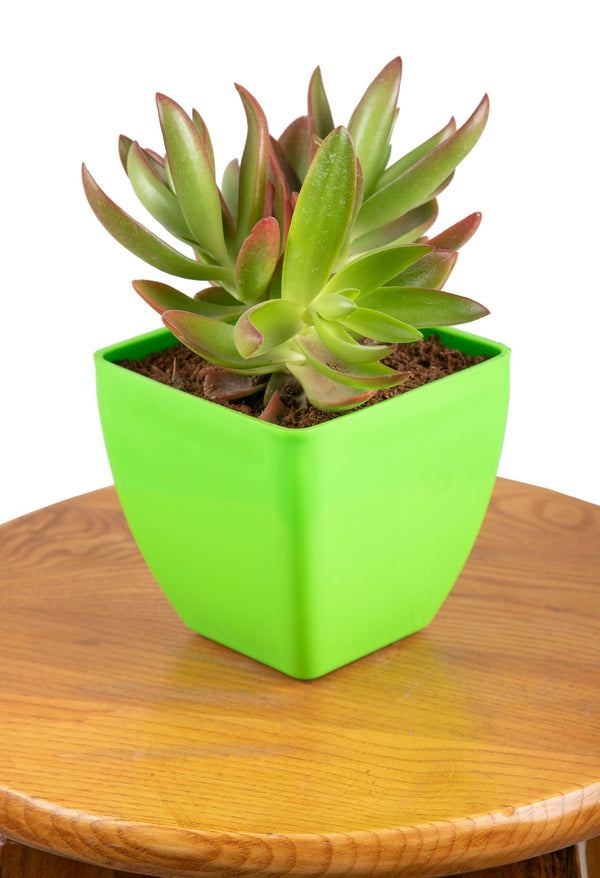 Crassula Campfire with Square Pot