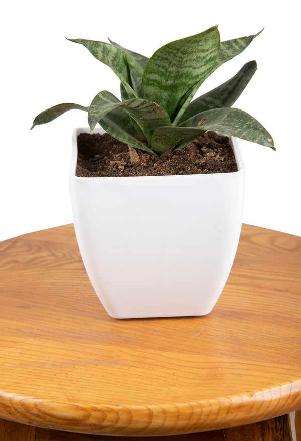 Snake Plant (Sansevieria) with Imported Plastic Square Pot