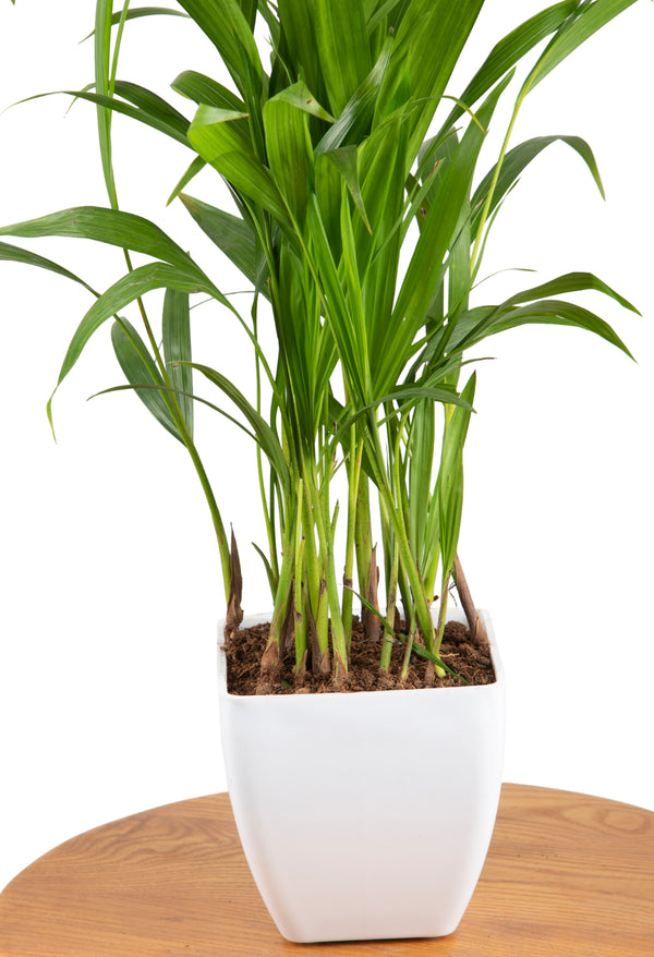 Areca Palm with Square Pot