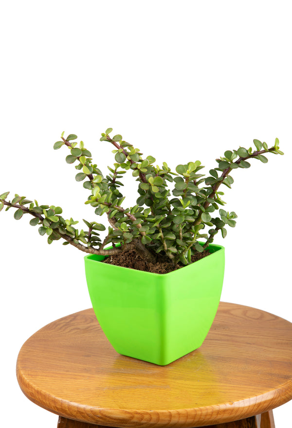 Jade Plant with Square Pot