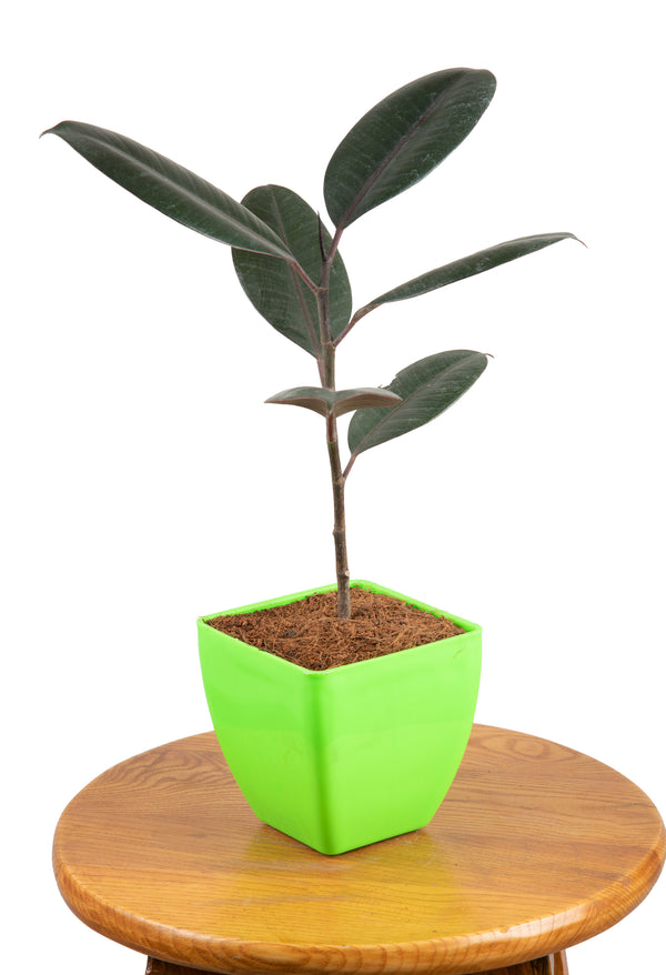 Rubber Plant with Square Pot