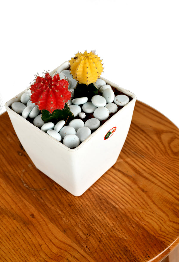 Red and Yellow Moon Cactus with Square Pot