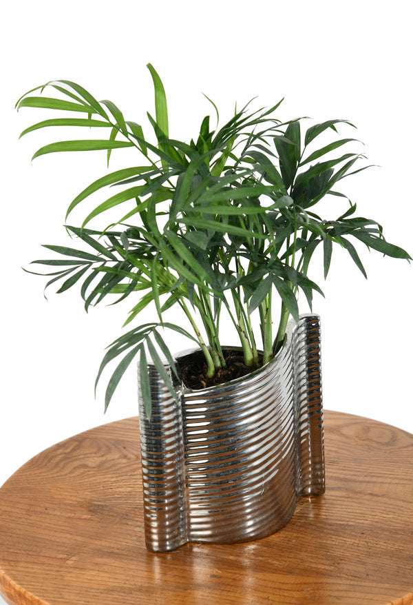 Chamaedorea Palm with Elegant Silver Color Pot