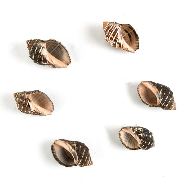 Black Sea Shankh Shell Beauties (6 pcs)