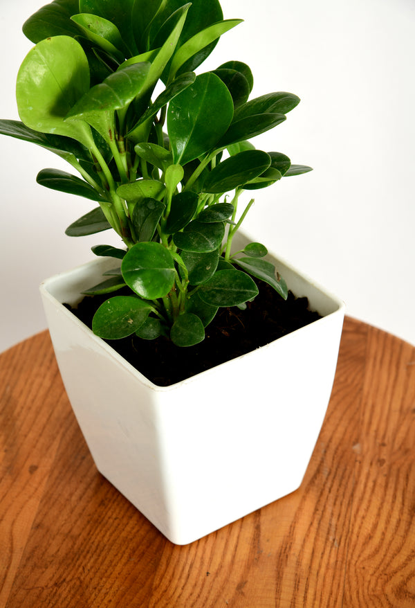 Peperomia Obtusifolia with Imported Square Pot