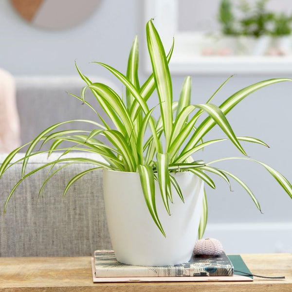 Spider Plant with Square Pot