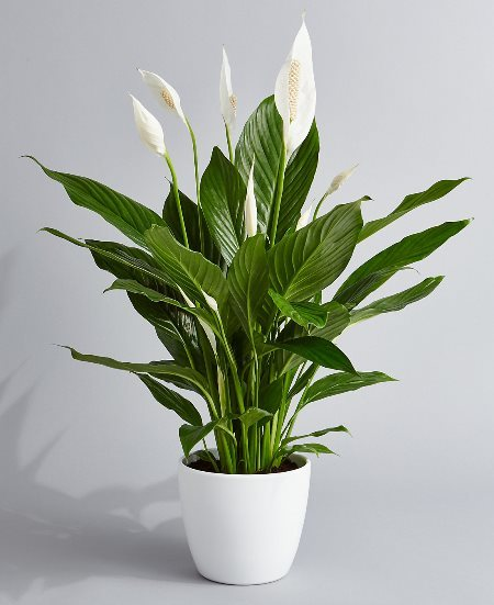 Peace Lily Fully Grown up Plant