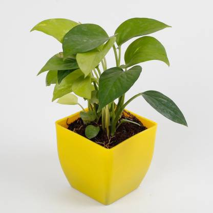 Lucky Money Plant with Imported Plastic Pot