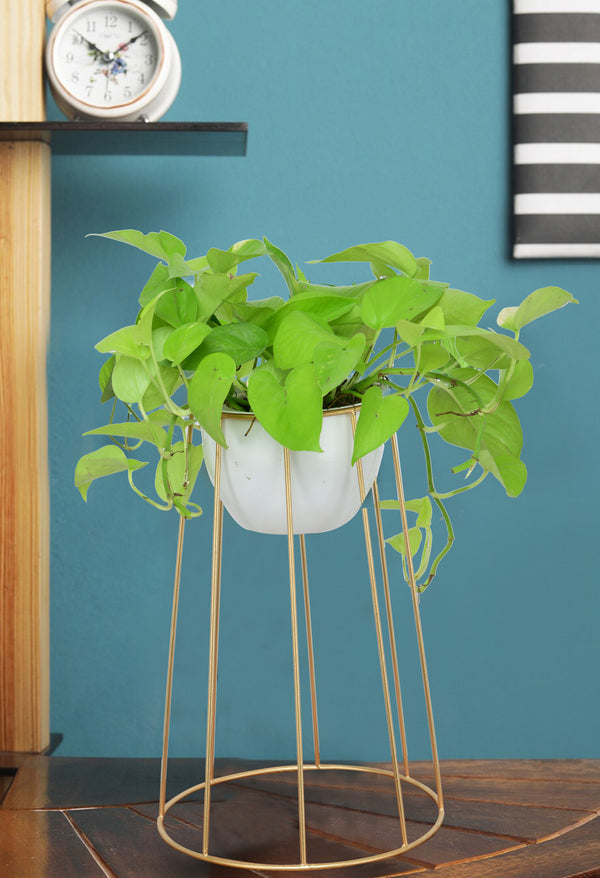 Money Plant Fancy Stand
