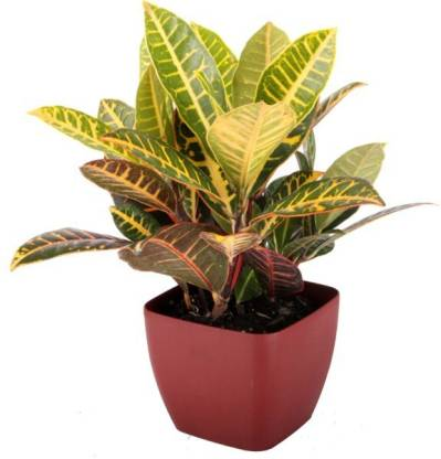 Croton with Imported Square Pot