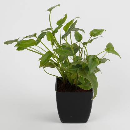Philodendron Plant with Imported Plastic Pot