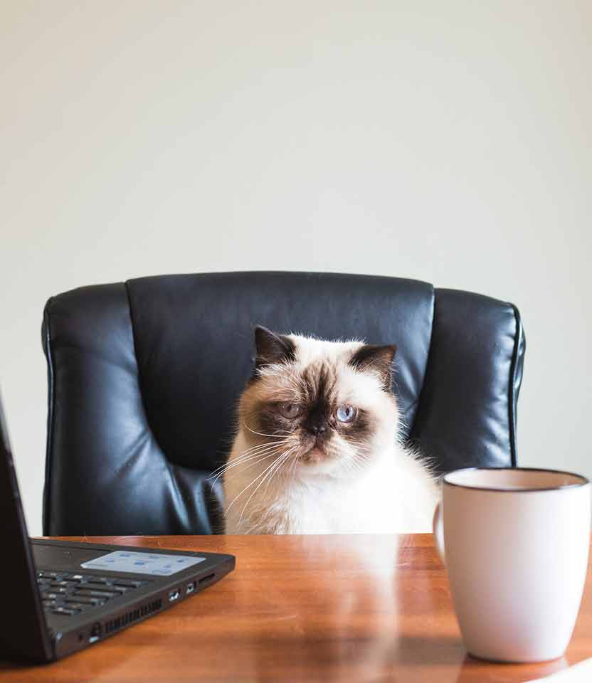 Cute grumpy pet cat sitting on a desk with laptop and mug