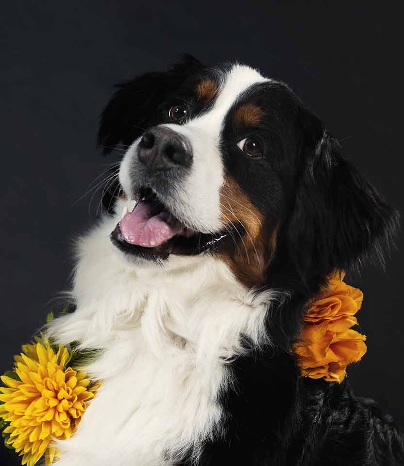 Stylish pet dog posing and wearing flowers