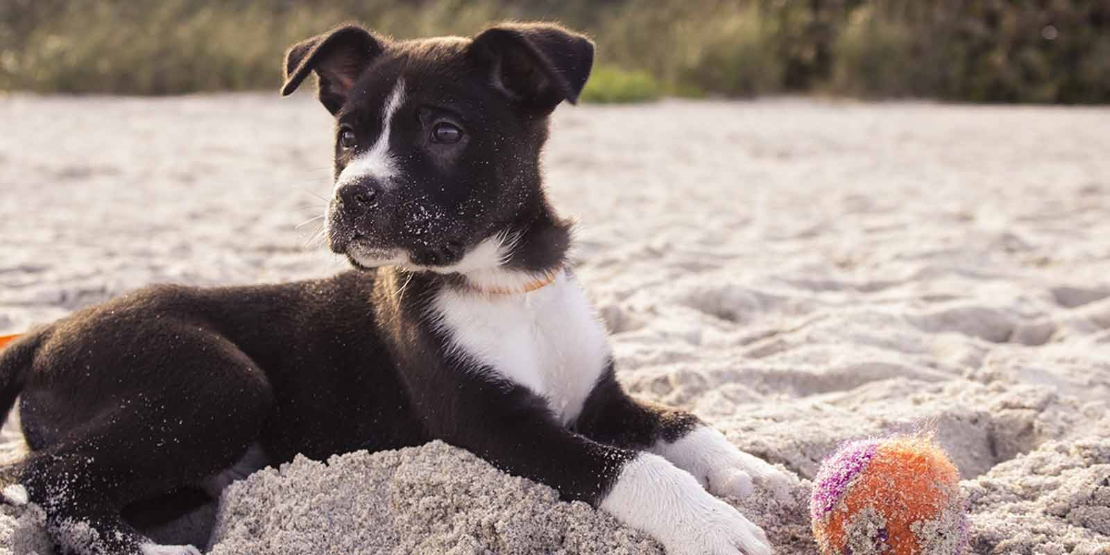 Beautiful black puppy playing with a ball on the sandy beach