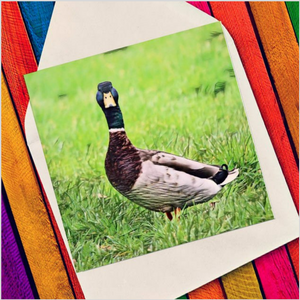 Duck in grass - Eco Friendly Card